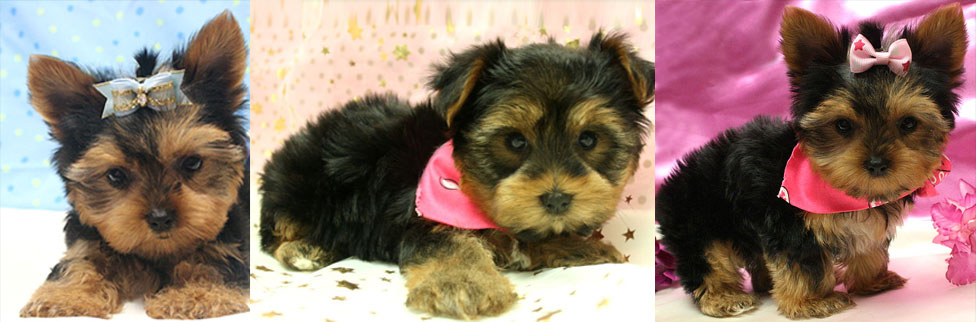 Adorable Toy And Teacup Yorkie Puppies For Sale New York New Jersey